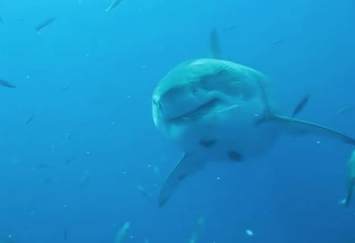 Le plus grand requin blanc jamais filmé !