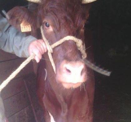 La vache qui ne voulait pas mourir !