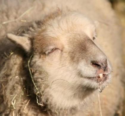 Pays de Galles : des moutons défoncés au cannabis sèment le trouble dans un village