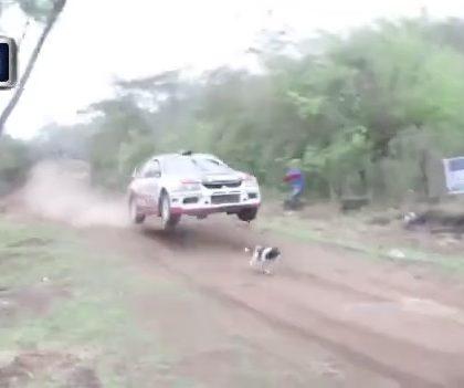 Insolite : Une voiture de rallye évite de justesse un chien en pleine course ! (Vidéo)