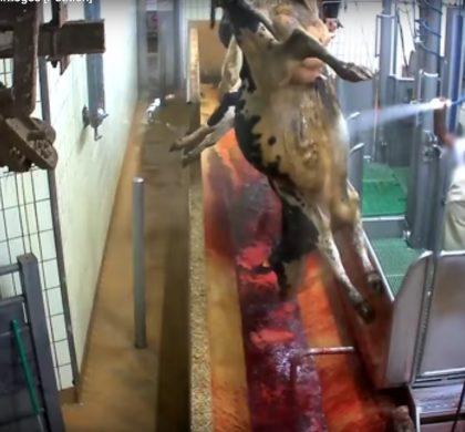 Abattoir de Limoges : L214 dévoile des images chocs de foetus et de veaux jetés à la poubelle