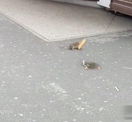 Les rats envahissent Paris …